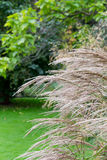 Ornamentacyjnego ogródu traw dekoracyjna jasnobrązowa trawa Obraz Stock