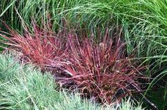 Ornamentacyjnego ogródu trawa zdjęcie stock