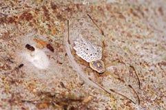 Ornamentacyjny Drzewnego bagażnika pająk Zdjęcie Royalty Free