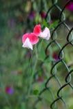Ornamentacyjny kwiat groch Obraz Royalty Free
