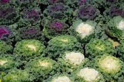 Ornamentacyjny liściasty Kale Fotografia Royalty Free