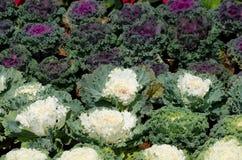 Ornamentacyjny liściasty Kale Obrazy Stock