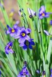 Ornamentacyjny ogrodowych rośliien Sizirinhium angustifolia (Sisyrinchium Zdjęcie Royalty Free