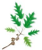 ornamental дуба клена ветви жолудей иллюстрация вектора