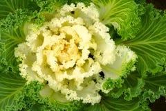 ornamental капусты зеленый Стоковые Изображения