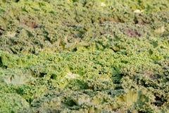 ornamental капусты предпосылки Стоковое фото RF