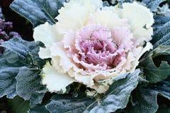 ornamental капусты Стоковые Фото