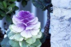 ornamental капусты Стоковые Изображения