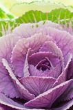 ornamental капусты Стоковые Изображения RF