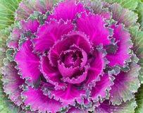 ornamental капусты Стоковая Фотография RF