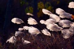 ornamental травы Стоковое Изображение RF