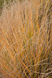 ornamental травы Стоковое Изображение