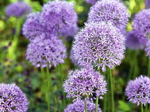 Ornamental  Allium Royalty Free Stock Photo