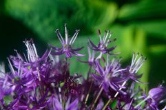 Ornamental Allium macro Stock Images