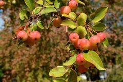 Ornamental apple tree `Professor Sprenger` royalty free stock photography