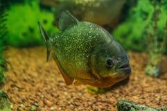 Ornamental aquarium fish. Stock Photos