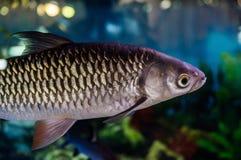 Ornamental aquarium fish. Royalty Free Stock Image