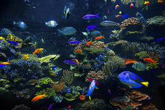 Ornamental aquarium fish. Colorful aquarium, showing different colorful fishes swimming Stock Photo