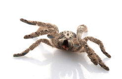 Ornamental Baboon Tarantula Stock Photography