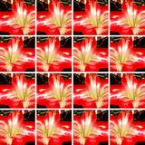 Ornamental background with red and white Amaryllis flower Stock Photography