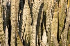 Ornamental background of Sansevieria plant. Snake tongue Stock Image