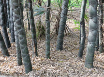 Tortoise shell bamboo. Ornamental bamboo,Bamboo species in the treasures.Photo taken on : China of yibin, sichuan bamboo sea scenic area Stock Images