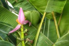 Ornamental Banana Flower Royalty Free Stock Photography