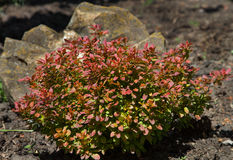 Ornamental barberry in garden Stock Photography
