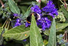 Bluebeard Caryopteris x clandonensis `Heavenly Blue` with Bumblebee. Ornamental Bluebeard Caryopteris x clandonensis `Heavenly Blue` with Bumblebee Royalty Free Stock Photo