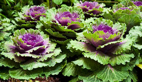 Ornamental brassica. Beautiful ornamental brassicas in indoor farm show Royalty Free Stock Photography