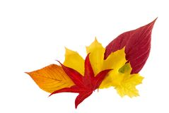 Ornamental bunch of autumn leaves. Bunch of five different autumn leaves on white background royalty free stock photos