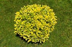 Ornamental bush Royalty Free Stock Photos