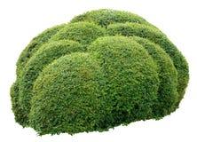 Ornamental bush. Round ornamental bush isolated on white background Stock Photography