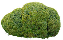Ornamental bush. Round ornamental bush isolated on white background Royalty Free Stock Image