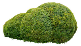 Ornamental bush. Round ornamental bush isolated on white background Royalty Free Stock Photo