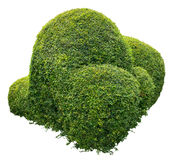 Ornamental bush Stock Photo