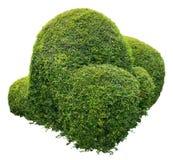 Ornamental bush. Round ornamental bush isolated on white background Stock Photo