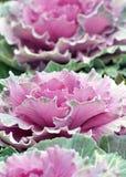 Ornamental cabbage Stock Image