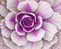 Ornamental cabbage. A colorful purplish ornamental cabbage from the top view showing the leaf pattern Royalty Free Stock Photos