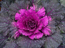 Ornamental cabbage. Close up of ornamental cabbage after rain Royalty Free Stock Images