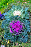 Ornamental cabbage Royalty Free Stock Images