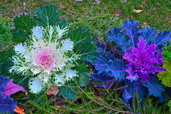 Ornamental cabbage. Close-up view to ornamental cabbage, or kale Royalty Free Stock Photo