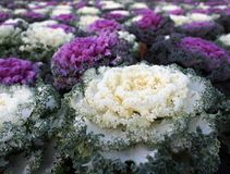 Ornamental cabbage. A closeup shot of a white ornamental cabbage royalty free stock image