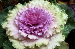 An Ornamental Cabbage Stock Photos