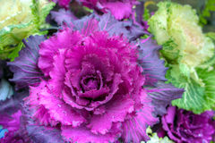 Ornamental Cabbage. Hardy multicoloured ornamental cabbage plants Stock Image
