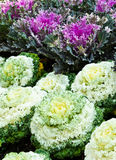 Ornamental cabbage Stock Photos