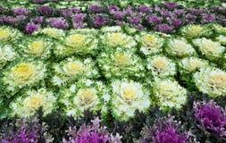 Ornamental cabbage Stock Photo