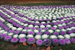 Ornamental cabbage bed. Bed of ornamental cabbage in an autumn park stock photography