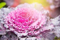 Ornamental cabbage Brassica oleracea Stock Image