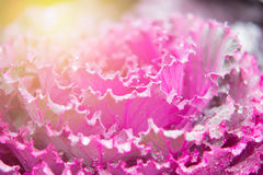 Ornamental cabbage Brassica oleracea Royalty Free Stock Images